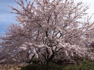 コラム桜八峰