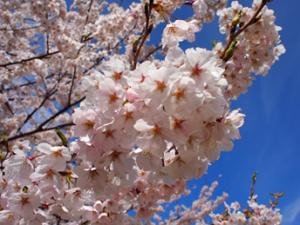 コラム桜八峰2